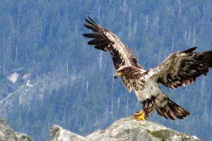 Metáforas de Coaching: La transformación del águila (III)